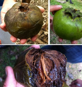 Top right: a black sapote that is ready to pick --the sepals are pulling away from the fruit. Top left: a black sapote ready to eat. Bottom: the inside of a black sapote.