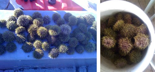 Some urchins on the boat and some in a five gallon bucket