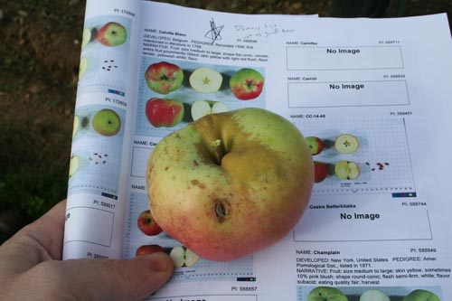 This is how we found our way around the orchard.  I printed out an answer key to the whole thing. Calville Blanc D'Hiver, by the way, is a great old French variety.