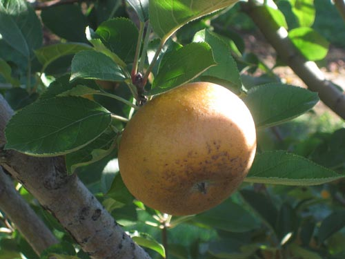 Ashmead's Kernel.  Our holy grail of juice apples.