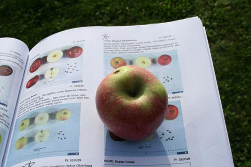 Esopus Spitzenburg.  An old, highly acclaimed apple.  Not so good if the tree isn't thinned, as we found out.