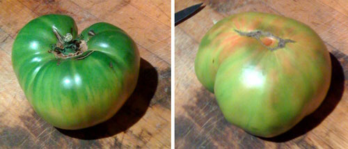 An heirloom worth looking for: Aunt Ruby's German Green. Perfectly ripe. Still Green.  Look for the blush on the bottom.